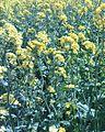 Тифон (растение).jpg