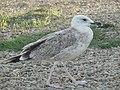Чайка на берегу.jpg