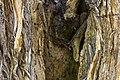 داخل درخت گردو - juglans 03.jpg