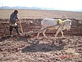 شخم زمین به روش سنتی در روستای زالی عکس از احمد نیک گفتار 1392.jpg