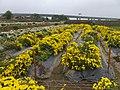 九湖杭菊田 Jiuhu Chrysanthemum Fields - panoramio (1).jpg