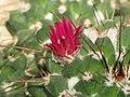 仙人掌-白龍球 Mammillaria compressa -上海辰山植物園 Shanghai Chenshan Botanical Garden- (17112537757).jpg
