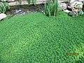 南山植物园-温室-水草 - panoramio.jpg