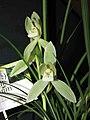 報歲白雪公主 Cymbidium sinense 'Snow White' -香港沙田國蘭展 Shatin Orchid Show, Hong Kong- (12248269966).jpg