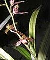 報歲聖紀晃 Cymbidium sinense -香港沙田國蘭展 Shatin Orchid Show, Hong Kong- (12266952063).jpg
