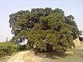 好大一棵树 - panoramio.jpg