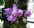 小蘭嶼蝴蝶蘭 Phalaenopsis equestris v rosea -日本大阪鮮花競放館 Osaka Sakuya Konohana Kan, Japan- (41355920504).jpg
