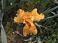 德國鳶尾-高大型 Iris germanica Lunar Fire -北京植物園 Beijing Botanical Garden, China- (9213306747).jpg