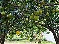 文旦園 Pomelo Orchard - panoramio.jpg