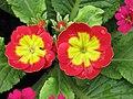 歐洲報春 Primula vulgaris Danova Series -香港花展 Hong Kong Flower Show- (9204834201).jpg