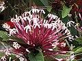 煙火樹 Clerodendrum quadriloculare -香港花展 Hong Kong Flower Show- (13217964085).jpg