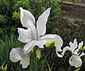 白花西伯利亞鳶尾 Iris sibirica v alba -比利時 Ghent University Botanical Garden- (9240153698).jpg