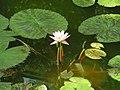 神代植物公園のはす - panoramio.jpg
