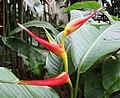 聖紅蠍尾蕉 Heliconia psittacorum 'Vincent Red' -香港公園 Hong Kong Park- (30681137138).jpg