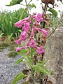 釣鐘柳屬 Penstemon clevelandii -倫敦植物園 Kew Gardens, London- (9159963598).jpg