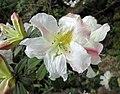 雲上杜鵑 Rhododendron supranubium -日本大阪鮮花競放館 Osaka Sakuya Konohana Kan, Japan- (42230380102).jpg