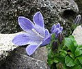 風鈴草屬 Campanula chamissonis -日本大阪鮮花競放館 Osaka Sakuya Konohana Kan, Japan- (27406343527).jpg
