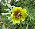 黃牡丹 Paeonia delavayi v lutea -比利時國家植物園 Belgium National Botanic Garden- (9216127902).jpg