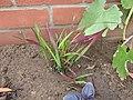 -2020-08-06 Japanese blood grass (Imperata cylindrica, 'Red Baron'), Trimingham, Norfolk.JPG