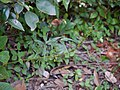 ... some orchid fruiting (21351341913).jpg