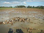 09461jfRoads Paddy fields Domesticated ducks Paligui Candaba Pampangafvf 08.JPG