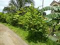 09671jfVillage Creek Atis Banana Plants San Miguel Bulacanfvf 11.JPG