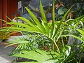 0998Ornamental plants in the Philippines 64.jpg