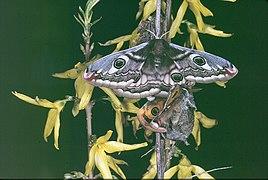 09 Accouplement de Saturnia Pavonia 1991.jpg