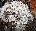 12.10.2006-Thelephora penicillata.jpg