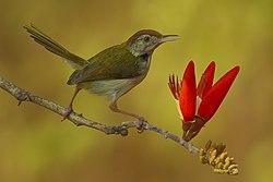 2005-tailor-bird.jpg