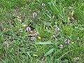 2009-06-17 Flora am Eisenstein (Niederösterreich) 6.jpg