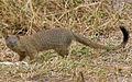 2009-slender-mongoose.jpg