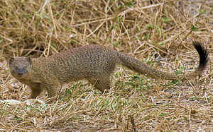 Slender mongoose - From Serengeti National Park