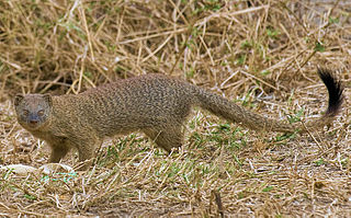 Slender mongoose species of mammal