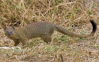 Slender mongoose - From Serengeti National Park
