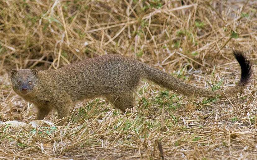 2009-slender-mongoose