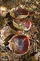 2010-10-10 Russula queletii Fr 111960.jpg