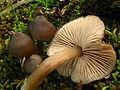2011-03-22 Entoloma vernum S. Lundell 138013.jpg