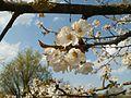 20120403Kirschbluete Oftersheim03.jpg