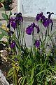 2014-05-16 14.54.28 Iris—Berkeley Horticultural Nursery (14018723398).jpg
