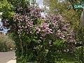2014-05-18 11 28 37 Lilac in Elko, Nevada.JPG