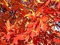 2014-11-02 14 08 32 Sugar Maple foliage during autumn along Hunters Ridge Drive in Hopewell Township, New Jersey.jpg