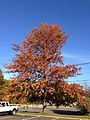 2014-11-02 15 02 19 Pin Oak during autumn along Olden Avenue in Ewing, New Jersey.jpg