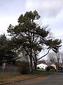 2014-12-30 12 41 18 Austrian Pine on Saint Paul Avenue in Ewing, New Jersey.JPG