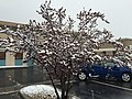 2015-05-07 07 48 33 A Purple-leaf Plum covered by a late spring wet snowfall on Silver Street in Elko, Nevada.jpg