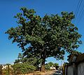 20150611 1743 wschowa quercus ul garbarska-9m-mk-a2.jpg