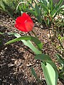 2017-03-27 15 45 08 Red Oxford Tulip blooming along Tranquility Court in the Franklin Farm section of Oak Hill, Fairfax County, Virginia.jpg