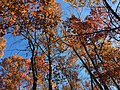 2017-11-23 13 12 24 View up into the canopy of several trees during late autumn along Stone Heather Drive near Stone Heather Court in the Chantilly Highlands section of Oak Hill, Fairfax County, Virginia.jpg