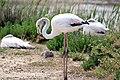 20170425 159 Camargue Flamingo (33654749923).jpg