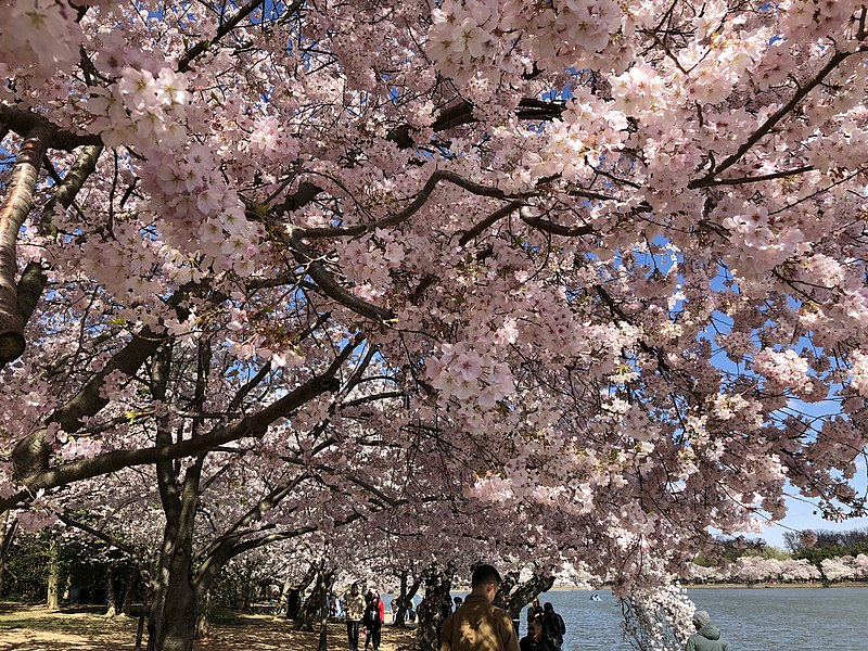 File:2018-04-08 10 45 57 Yoshino Cherries blooming along the southwest shore of the Tidal Basin during the 2018 Cherry Blossom Festival in Washington, D.C..jpg